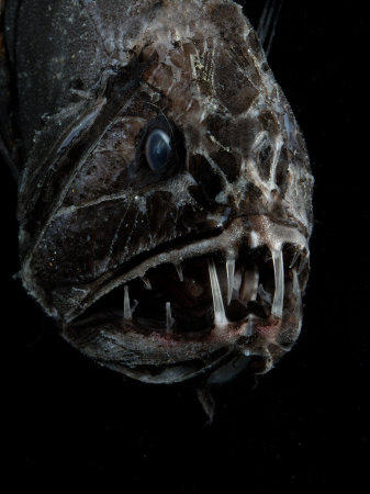shale-david-fangtooth-bathypelagic-fish-anoplogaster-cornuta-deep-sea-atlantic-ocean